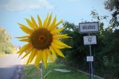 Ilustrační fotografie pro počasí v bělušicích se slunečnicí a cedulí s názvem obce